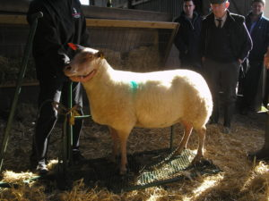 The dressed ewe – ready to show